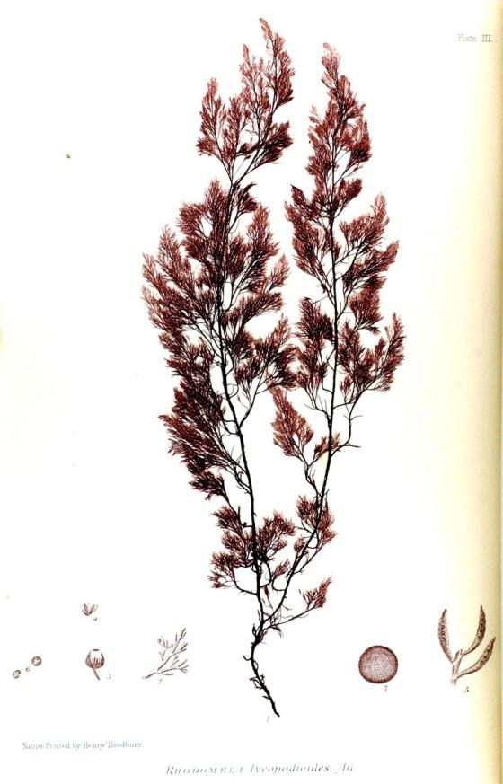 british-sea-weed-3