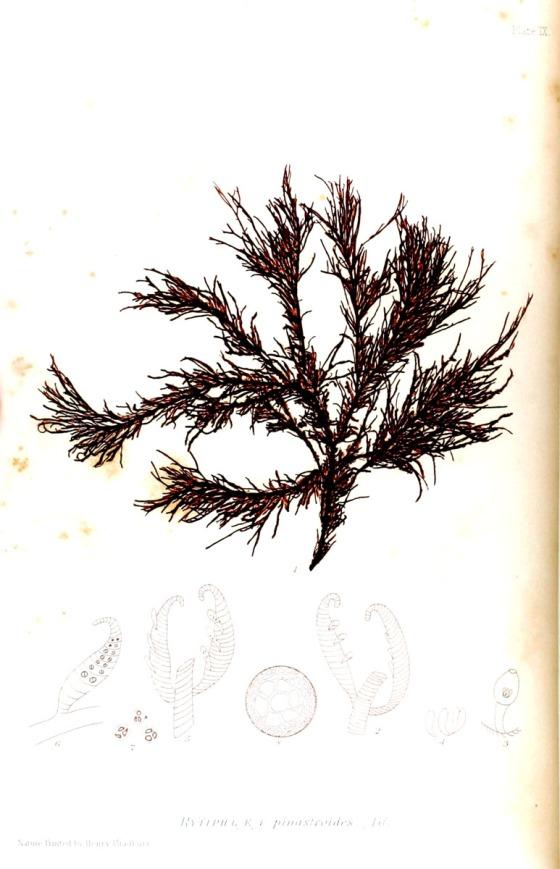 british-sea-weed-5