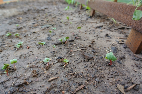 Baby radishes peek through the ground.
